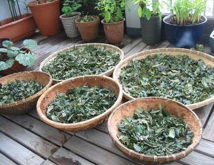 の 茶 びわ 作り方 葉